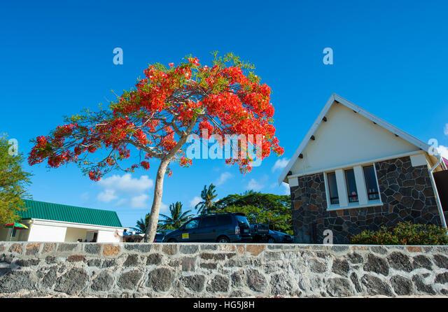 Mauritius Flamboyant Tree Flame Tree Stock Photos