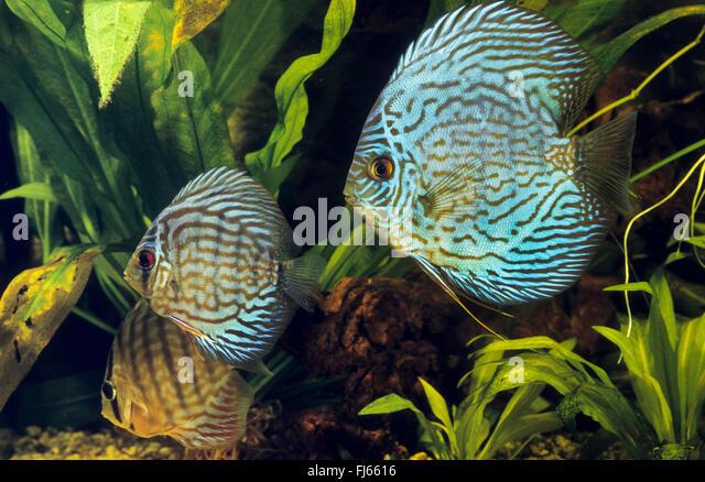 Symphsodon aequifasciatus ile ilgili görsel sonucu