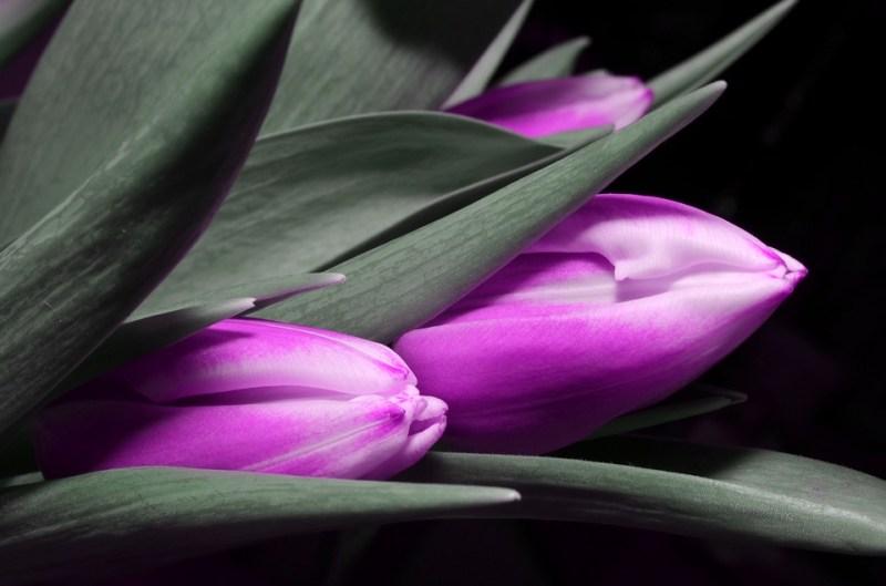 tulipomania bolsa de valores