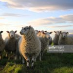 Agir en mouton