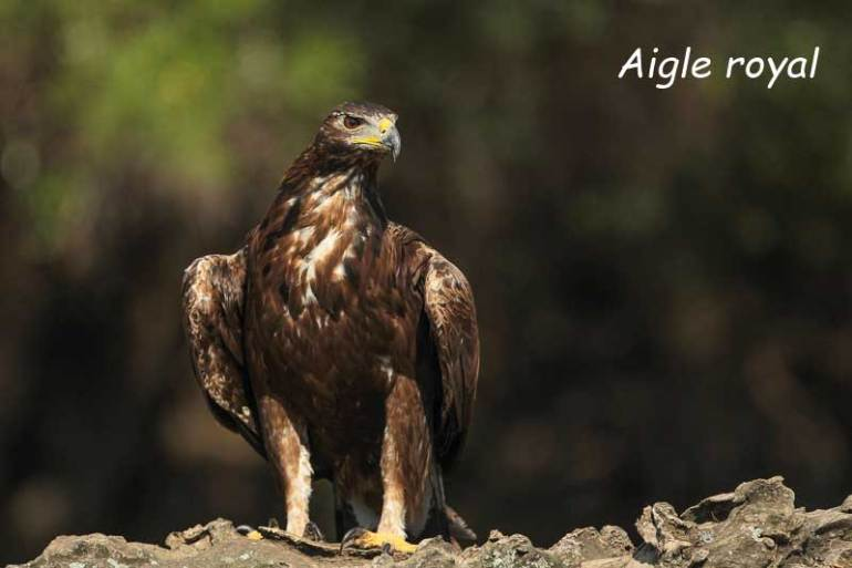aigle royal