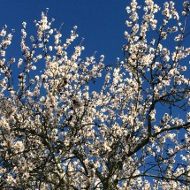 almond tree with flowers