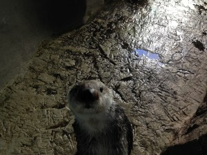 Meeting Sea Otters at Aquarium of the Pacific