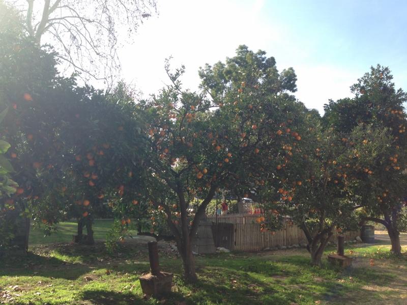 orange picking in la verne