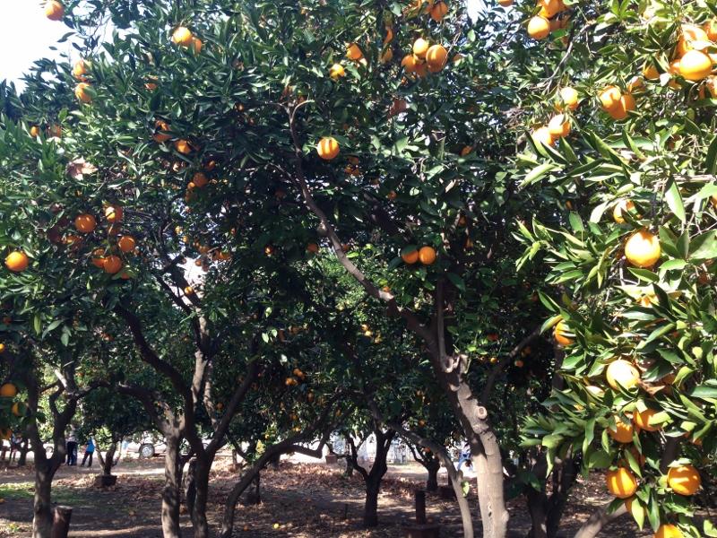 orange picking in lav verne