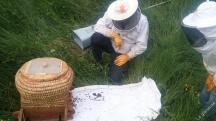 Les retardataires rejoignent l'essaim dans la ruche