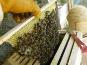 rayon de miel en construction dans la hausse