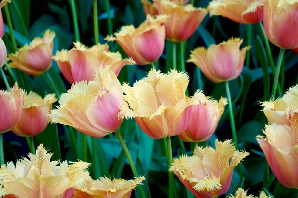 Image Result For Alice S Tulips