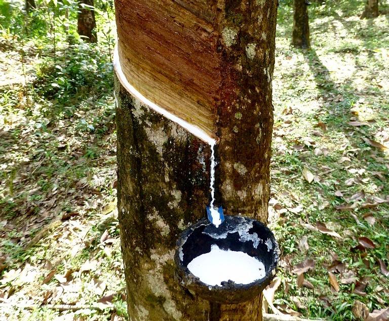 Da dove viene la gomma la plumeria for Pianta della foresta di pioppo