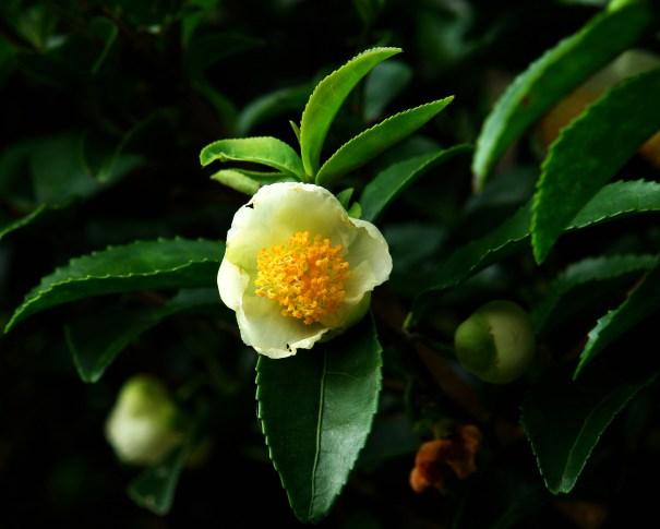 genoma tè