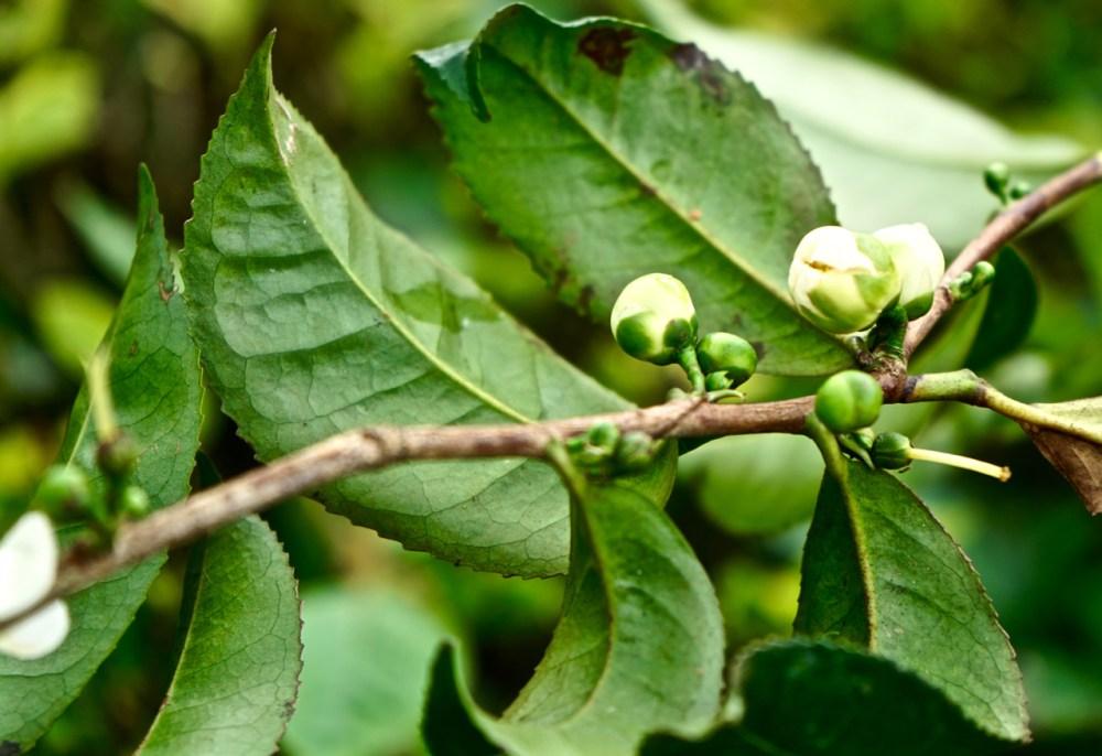 Boccioli di tè Sri Lanka