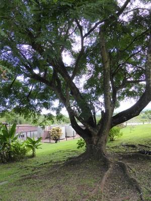 Bois de santal rouge ou bois condori- Adenanthera Pavonina, photographié au Domaine Séverin, Guadeloupe