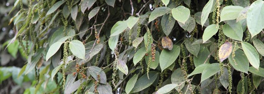 Poivre, le trésor caché de Penja (Cameroun) et ses propriétés médicinales et gustatives