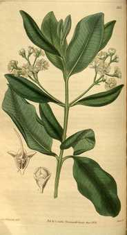 """""""Myrcia acris"""" by William Jackson Hooker (1785-1865) - Curtis's botanical magazine vol. 59 New Series nr. 6 tabl. 3153 from www.botanicus.org. Licensed under Public Domain via Wikimedia Commons - http://commons.wikimedia.org/wiki/File:Myrcia_acris.jpg#/media/File:Myrcia_acris.jpg"""