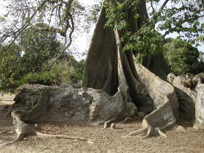 arbre le fromager