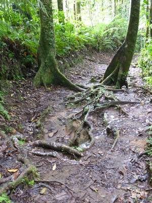 Les racines sur lesquelles on bute, agressions quotidiennes des promeneurs qui sont sûrement à l'origine de la production de la résine blanche
