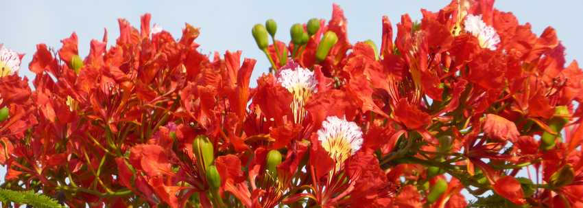 Le flamboyant, l'arbre qui s'embrase au moment du Carême (Delonix regia)