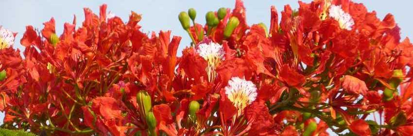 flamboyant-delonix-regia