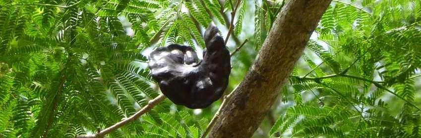 guanacaste-arbre-oreille