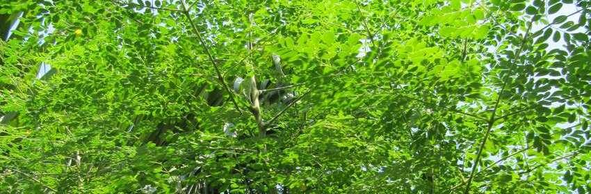 moringa-tree