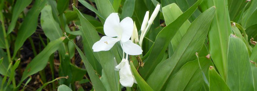 Mariposa, Viva la Revolucion! (une fleur symbole de résistance)