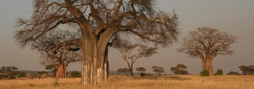 Baobab, l'arbre sacré qui fâche les dieux (Adansonia sp.)