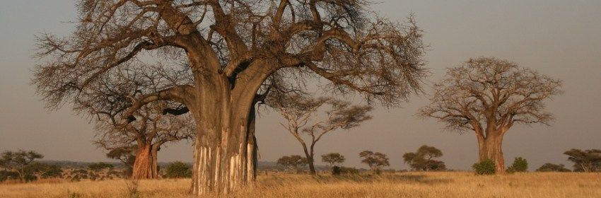 """""""Adansonia digitata Baobab"""" by Yoky - Own work. Licensed under CC BY-SA 3.0"""
