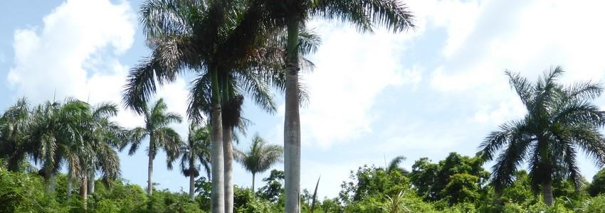 Palmier royal: l'arbre à tout faire de Cuba (Roystonea regia)