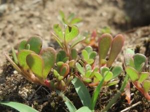 portulaca-oleracea-pourpier