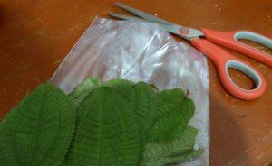 1-Découper- feuilles-clidemia-hirta