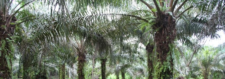 Le palmier à huile, une plante médicinale (Elaeis guineensis)