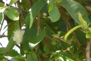 fleur-goyavier-psidium