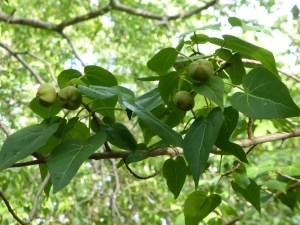fruit-catalpa-thespesia