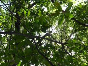 quinquina- Cinchona officinalis