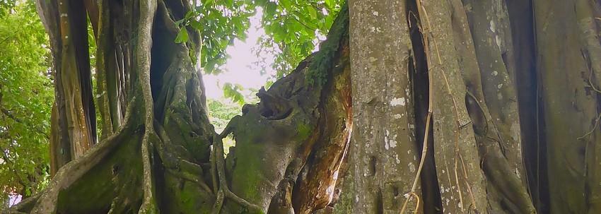 Ficus sacré, Figuier maudit: la vérité sur les arbres tueurs