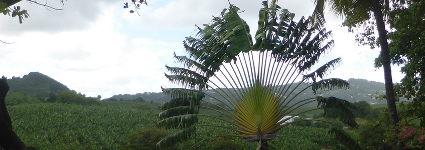 Ravenala, emblème de Madagascar (Ravenala madagascariensis)