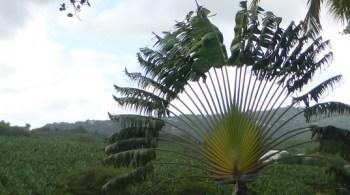 ravenala-madagascariensis