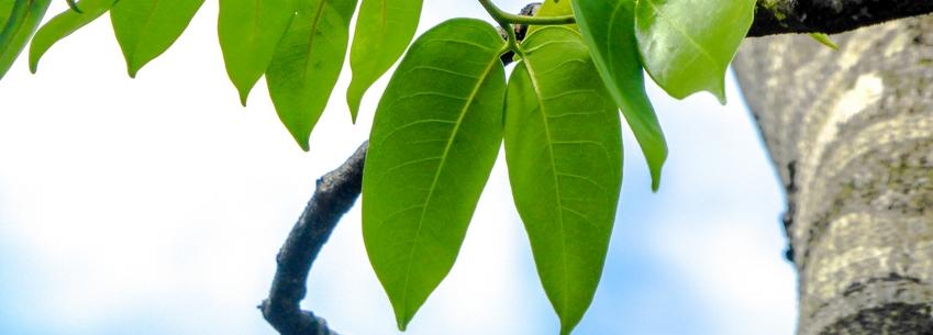 Courbaril: ses feuilles font la paire (Hymenea courbaril)