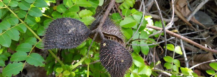 gousses-caesalpinia-bonduc