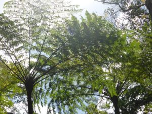 cyathea-arborea