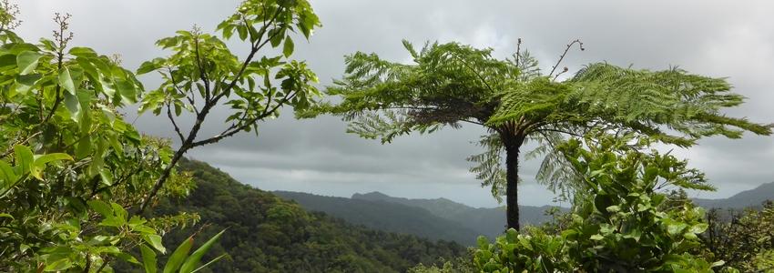 Fougères arborescentes et forêts de cinéma (cyatheales)