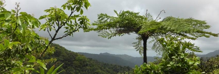 fougere-arborescente