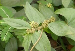 chamaesyce-hirta-medicinalchamaesyce-hirta-medicinal