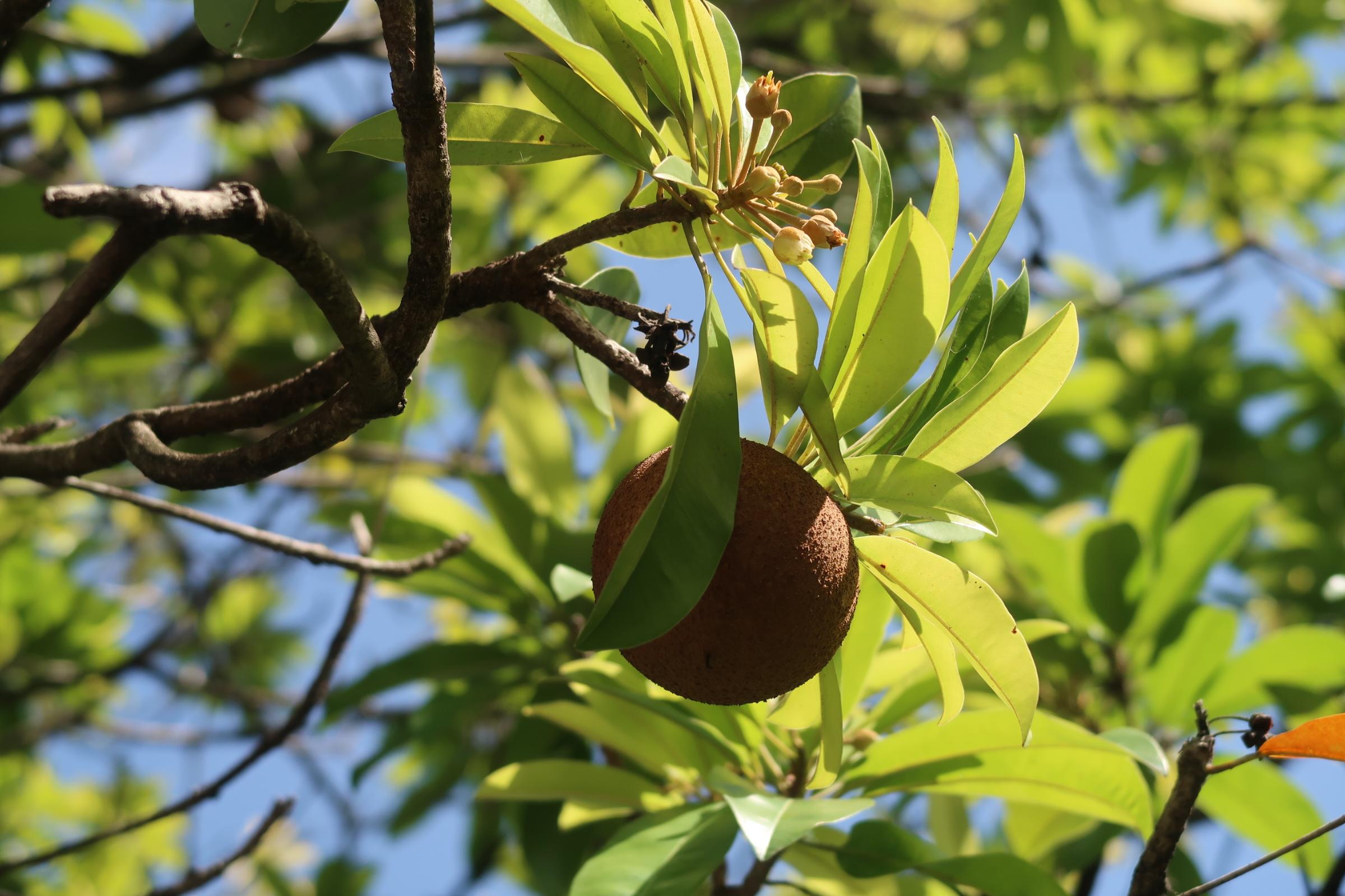 Sapotille et manicou (Manilkara sapota)