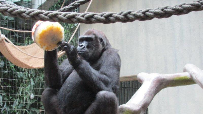 Un singe qui joue au Zoo de Bâle