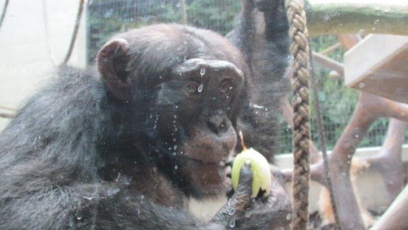 Un singe qui mange au Zoo de Bâle