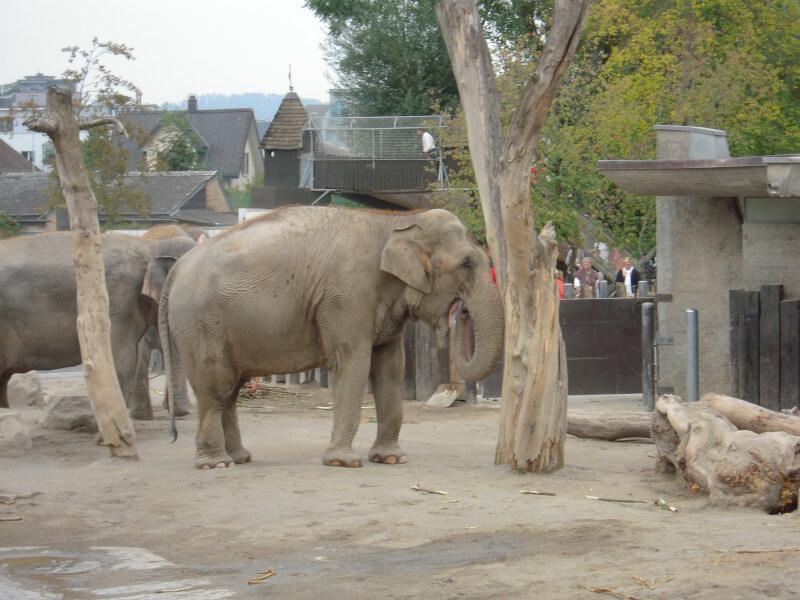 Un éléphant qui pousse un arbre au zoo de Rapperswil