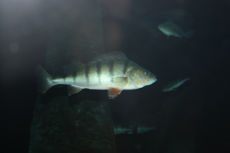 Une grosse perche à Aquatis