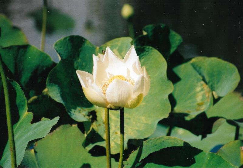 Un Lotus au jardin de Pamplemousses