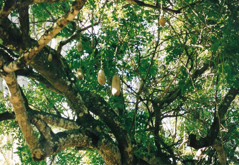 Un arbre à saucisses au jardin de Pamplemousses